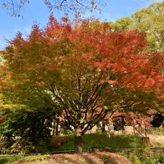 紅葉/公園 横浜公園の紅葉が綺麗です🍁 日に日に色づ…(2枚目)