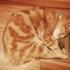 猫ハウス/ねこ/猫部/猫と暮らす/段ボール猫 段ボール大好きにゃっ♡