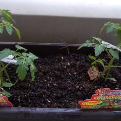 プランター/家庭菜園/食費節約/家で出来ること/家庭プランター菜園/暮らし/... 今年の家庭プランター菜園は、プチトマトの…