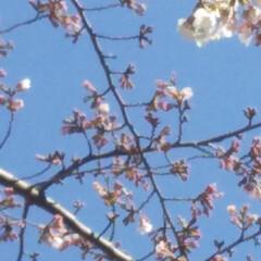 お散歩/ピンク/桜/haru/暮らし 名古屋にも桜が今年も咲きました。まだこれ…