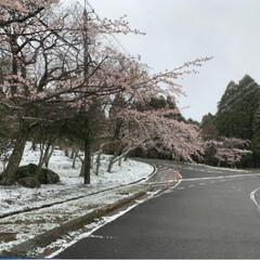 桜と雪/この時期に雪? 住んでおります市内から🚗💨 30分かけて…