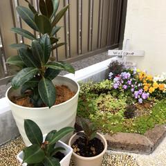 観葉植物/ゴムの木/ダイソー ダイソーのゴムの木 ぐんぐん成長中(o^…