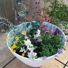 パクチー/タイム/ダニア/花の寄せ植え 花の苗を買ってきて寄せ植えにしました😊ど…