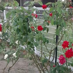 買い物帰り/👀📷✨/薔薇の花/花 おはようございます☺  9月4日(金) …