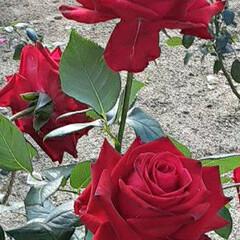 エース・オブ・ハーツ🌹/薔薇公園/👀📷✨/薔薇 おはようございます☺  11月19日(木…