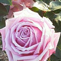 先日/👀📷✨ エフピコアリーナの薔薇  その名もずばり…