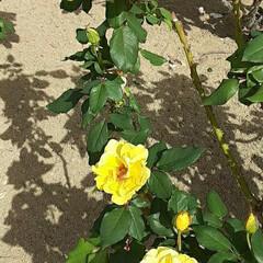 ヘンリーフォンダ/先日/薔薇公園/👀📷✨/薔薇 おはようございます☺  10月26日(月…(3枚目)