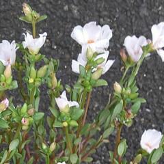 白い花/先日/買い物に行く途中/👀📷✨ おはようございます🙋♀️❗ 9月23日…(2枚目)