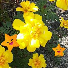 先日/近所/畑/👀📷✨ ☔なので、元気カラー❗  黄色のマリーゴ…(2枚目)
