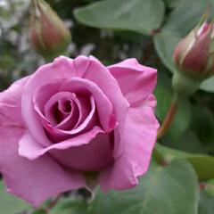 「私の好きな紫っぽい🌹の花です  先日、買…」(1枚目)