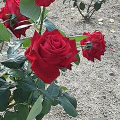 先日/👀📷✨/薔薇公園で/薔薇 おはようございます☺  12月2日(水)…(1枚目)