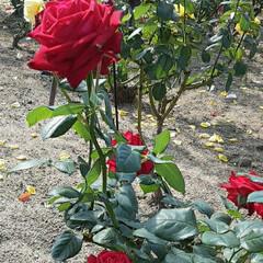 先日/👀📷✨/薔薇公園で/薔薇 おはようございます☺  12月2日(水)…(2枚目)