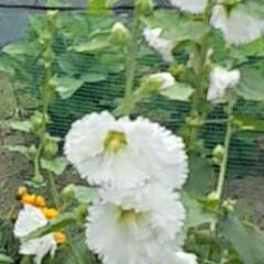 「先日、買い物に咲いていた  白くタチアオ…」(1枚目)