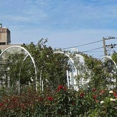 昨日/👀📷✨/もうすぐ秋の薔薇展/福山市/薔薇公園 🌹秋の薔薇展が10/24・25 日に  …(2枚目)