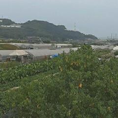 ビニールハウス/畑/芦田川/河川敷 先日、バナナの木の写真を撮った河川敷の …(3枚目)