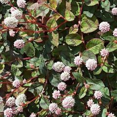 近所で 側溝に張り出すように咲いてる雑草🌿  小…