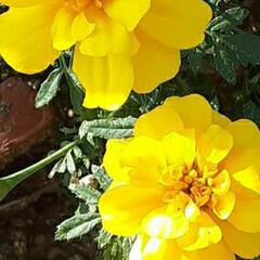 先日/近所/畑/👀📷✨ ☔なので、元気カラー❗  黄色のマリーゴ…