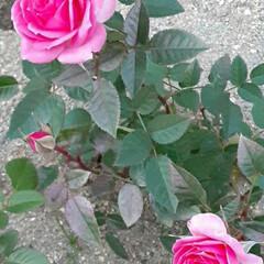 ミニ薔薇/先日/買いもの帰りに/👀📷✨ Merry Christmas🎅⛄🎄✨🎁…(1枚目)
