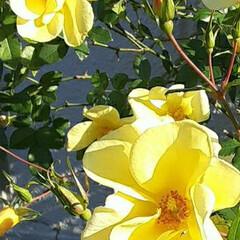 先日/買い物に行く途中/👀📷✨ ちょっと小さめの薔薇です🎵  色が好きで…