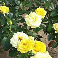 先日/緑町公園/👀📷✨/薔薇 昨日の夕方、❄️がちらついただけで  震…