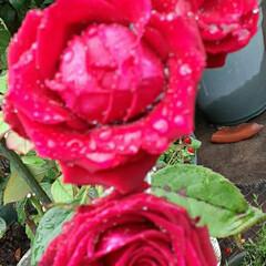 雨に濡れた赤い薔薇/昨日/歯医者さんの帰り/咲いていました おっはよう ございま~す☺  6月19日…(2枚目)