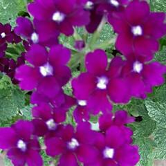 感謝/👀📷✨/近所/酒屋さん/おじいさん/季節の花/... 暑い中、酒屋のおじいさんが  水やりして…