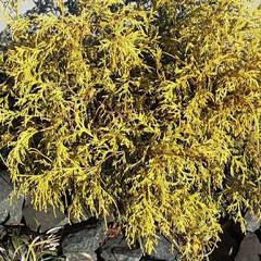 通りすがりに/近所で/👀📷✨ 名前も知らない葉(植物)ですが、 黄色い…