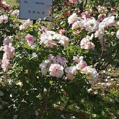 先日/薔薇公園/👀📷✨ おはようございます☺  11月21日(日…(2枚目)