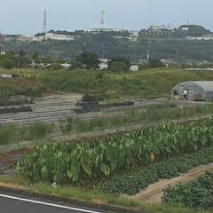 ビニールハウス/畑/芦田川/河川敷 先日、バナナの木の写真を撮った河川敷の …(2枚目)