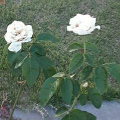 買い物帰り/👀📷✨/薔薇/花 おはようございます☺  9月17日(木)…