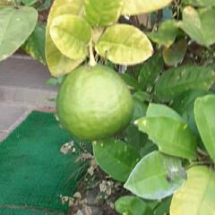 柑橘系/謎の果実 買い物に行く途中👀📷✨しました🎵  これ…(2枚目)