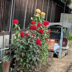 「出勤途中の畑に咲くケイトウの花  背が高…」(1枚目)
