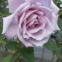大好きな藤色っぽい薔薇/👀📷✨/緑町公園周辺 おはようございます☺  11月13日(金…