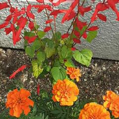 赤いサルビア/マリーゴールド/買い物帰り/👀📷✨/季節の花/花 おはようございます☺  10月8日(木)…(2枚目)