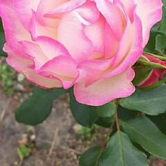 先日/👀📷✨ 近くの中学校の回りに咲いていた  薔薇で…