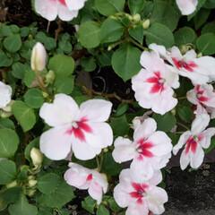 白い花/先日/買い物に行く途中/👀📷✨ おはようございます☀️🙋♀️❗ 9月2…(2枚目)