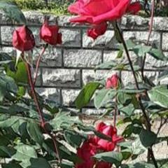先日/緑町公園/👀📷✨/薔薇 おはようございます☺  11月11日(水…(1枚目)