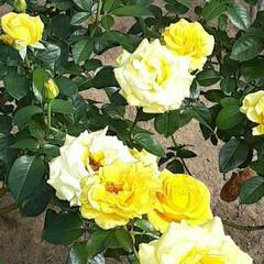 先日/薔薇公園/👀📷✨/バラ おはようございます☺  10月22日(木…