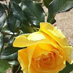 薔薇/👀📷✨/福山市/薔薇公園 🌹秋の薔薇の投稿を始めます🎵      …