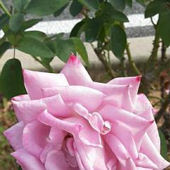 👀📷✨/先日/薔薇公園/回り 薔薇公園の回り、街路の花壇に  植えてあ…(1枚目)