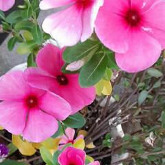 おはよう☺/pi-🌴ちゃん❗/テニスの日だよ🎵🎾/近所/👀📷✨/季節の花/... おはようございます☺  9月23日(水)…