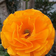 先日/買い物に行く途中/👀📷✨ ラナンキュラスが、こじんまりと 綺麗に咲…(1枚目)