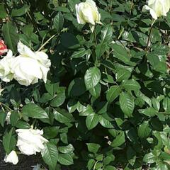 イマジン/薔薇/👀📷✨/薔薇公園 前回撮れなかった薔薇''イマジン''の …(4枚目)