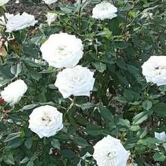 小振りな薔薇/先日/薔薇公園で/👀📷✨ おはようございます☺  12月3日(木)…(2枚目)