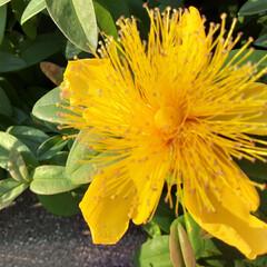 先日 ご近所の植え込みに咲いて  いました💛(1枚目)