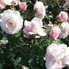 小振りな薔薇/先日/薔薇公園で/👀📷✨ おはようございます☺  12月3日(木)…