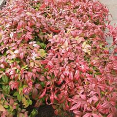 近所で/👀📷✨ これも、紅葉でしょうか⁉️  綺麗な花に…