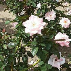 先日/薔薇公園/👀📷✨/薔薇 おはようございます☺  10月28日(水…