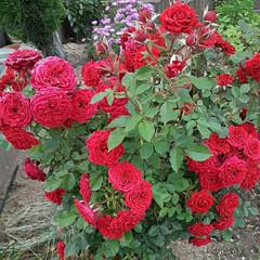 👀📷✨/出勤途中/薔薇/花/暮らし おはよう  ございます🌹  6月11日木…