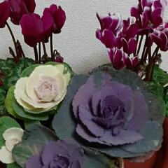 小さい葉牡丹/シクラメン2色/いつも👀📷✨している/お花屋さん/お買い物 シクラメン買ってきました🎵✌  簡単な寄…(4枚目)